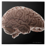 Model of human brain, studio shot ceramic tile