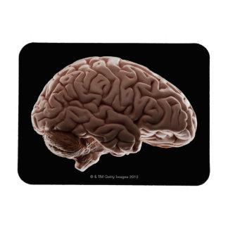 Model of human brain, studio shot magnet