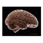 Model of human brain, studio shot postcard