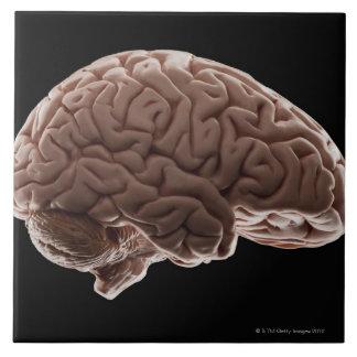Model of human brain, studio shot ceramic tiles
