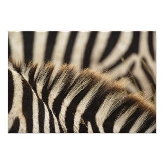 Modelo de las rayas de la cebra de Burchell, Equus Fotografías