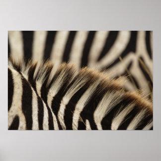Modelo de las rayas de la cebra de Burchell, Equus Póster