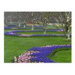 Modelo de los tulipanes y de las flores del jacint tarjetas postales