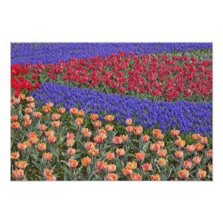 Modelo de tulipanes y de flores del jacinto de uva fotografía