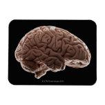 Modelo del cerebro humano, tiro del estudio imán