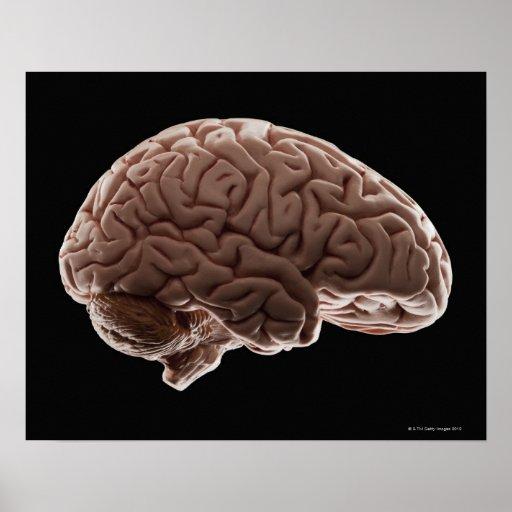 Modelo del cerebro humano, tiro del estudio poster