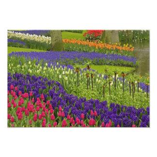 Modelo del jacinto de los tulipanes, y jacinto de  fotografías