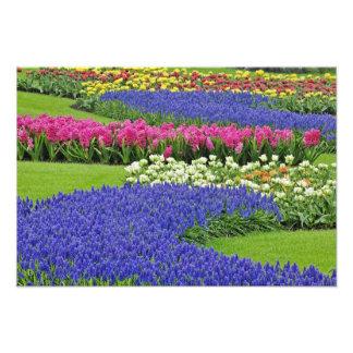 Modelo del jacinto de uva, tulipanes, y 3 fotografías