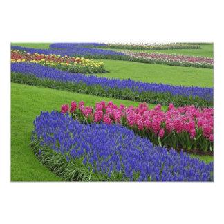 Modelo del jacinto de uva, tulipanes, y fotografía