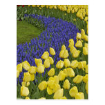 Modelo del jardín de las flores del jacinto de uva tarjeta postal