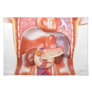 Modelo humano del cuerpo del torso con los órganos manteles individuales