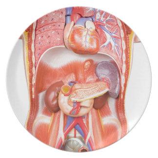 Modelo humano del cuerpo del torso con los órganos plato de cena