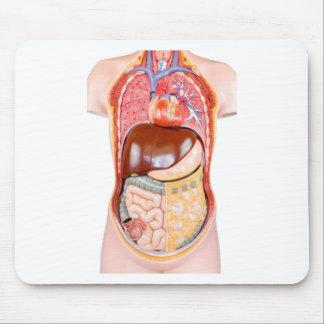 Modelo humano plástico del torso con los órganos tapete de ratones