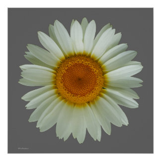 Modern Cool Floral Pop Art White Daisy on Grey Poster