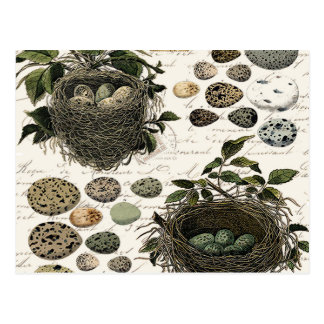 Modern Vintage French bird nests and eggs Postcard