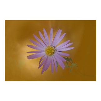 Mojave Aster Wildflower Poster