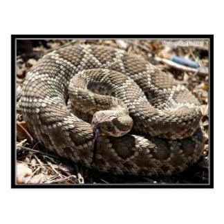 Mojave Rattlesnake in Congress, Arizona Postcards