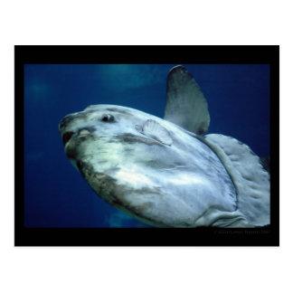 Mola 001 del Mola del Sunfish Tarjetas Postales