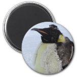 Molting Emperor Penguin Fridge Magnets