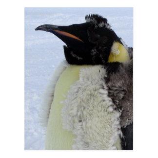 Molting Emperor Penguin Postcard