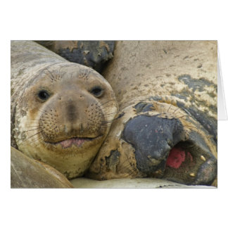 Molting Northern Elephant Seals Card