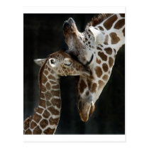 Mom and Baby Giraffe Cuddle Postcard