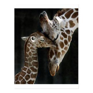 Mom and Baby Giraffe Cuddle Postcard