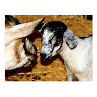 Mom and Baby Goat - Postcard