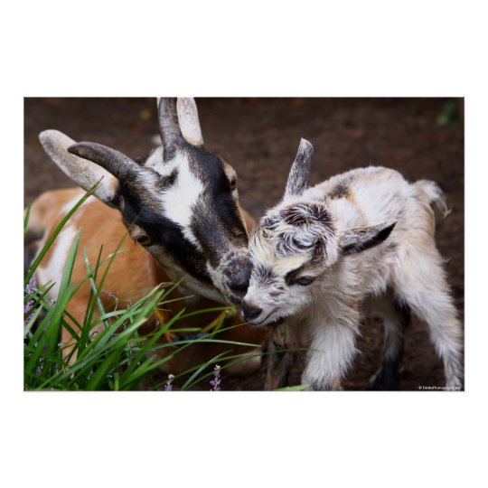 Mom and Baby Goat Poster