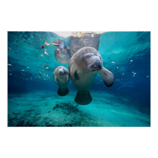 Mom And Baby Manatee (Three Sisters Springs) Poster