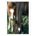 Mom & Foal Postcards