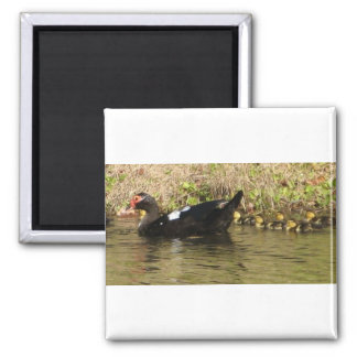 Momma Muscovy and baby ducks magnets