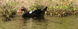 Baby Muscovy Duck Drinkware | Zazzle