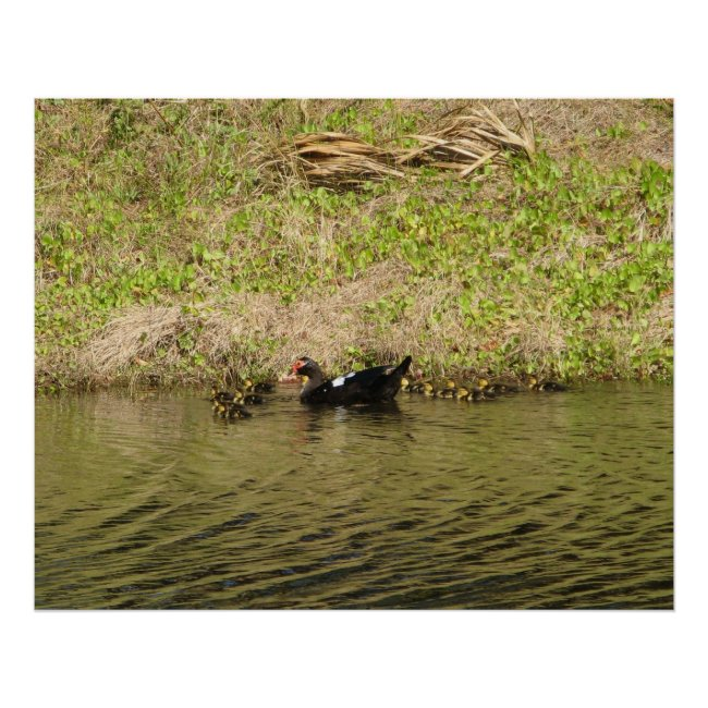 Momma Muscovy and Baby Ducks Poster