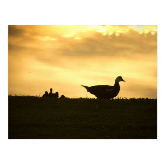 Momma Muscovy Duck and Baby Ducklings at Sunrise Postcard