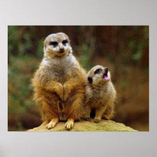 Momma y bebé Meerkat 1 impresión Poster