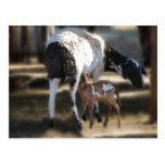 Mommy & Baby Goat Postcard