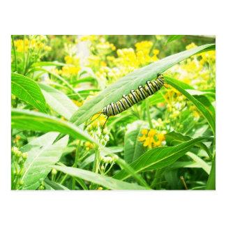Monarca Caterpillar (plexippus del Danaus) Tarjetas Postales