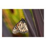 Monarca en el agavo impresion fotografica