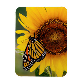 Monarch Butterfies on Sunflower Magnet