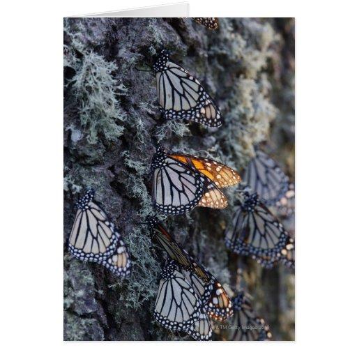 Monarch Butterflies on Pine Tree, Sierra Chincua 2 Greeting Cards