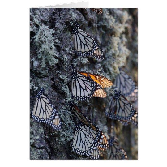 Monarch Butterflies on Pine Tree, Sierra Chincua 2 Card