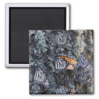 Monarch Butterflies on Pine Tree, Sierra Chincua 2 Magnet