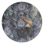 Monarch Butterflies on Pine Tree, Sierra Chincua 2 Plates