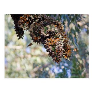 Monarch Butterflies Postcard