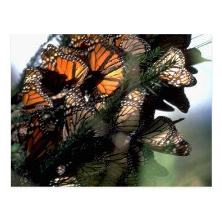 Monarch Butterflies Postcards