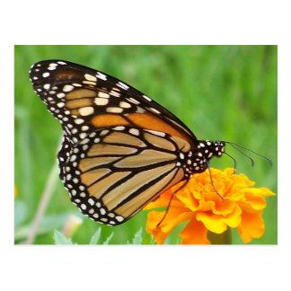 Monarch Butterfly 1 Postcard