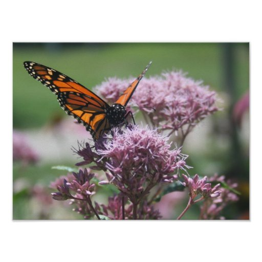 Monarch Butterfly_2 Poster