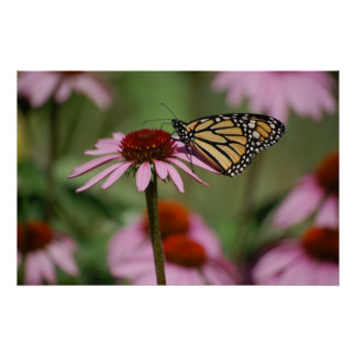 Monarch Butterfly and Black Eyed Susan Poster