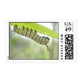 Monarch Butterfly Caterpillar Exploring A Milkweed Postage Stamp